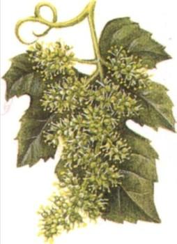 опыление винограда