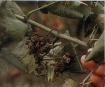 засохшая виноградная гроздь